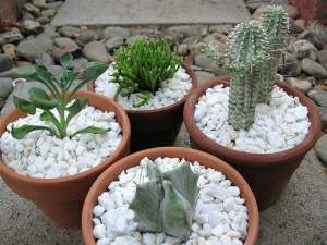 House cactus plants pictures