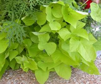 How To Grow An Old Fashioned Sweet Potato Vine