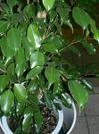 The Weeping Fig (Ficus Benjamina)
