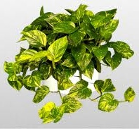 Golden Pothos the Devil's Ivy