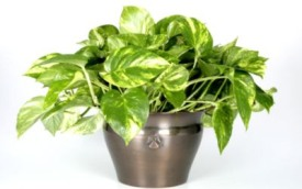 Exotic Angel Golden Pothos