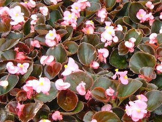 Begonias Your Indoor Home Decor House Plants For You House