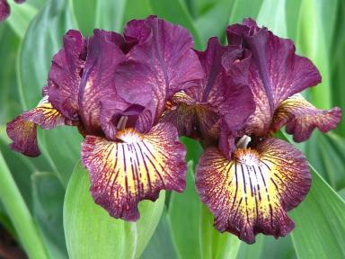 Bearded iris flowers